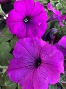 23rd Mar 2019 - Purple petunia