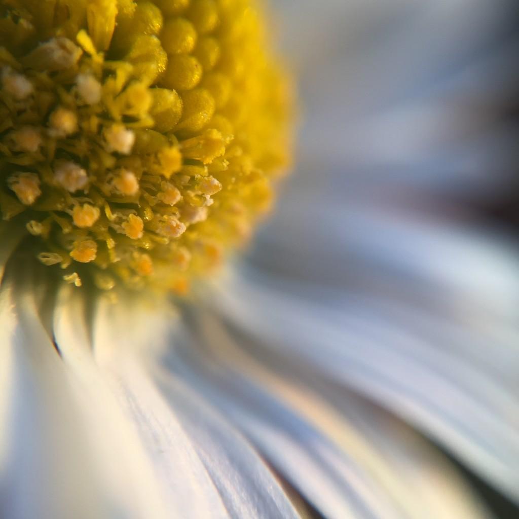 Daisy by imnorman