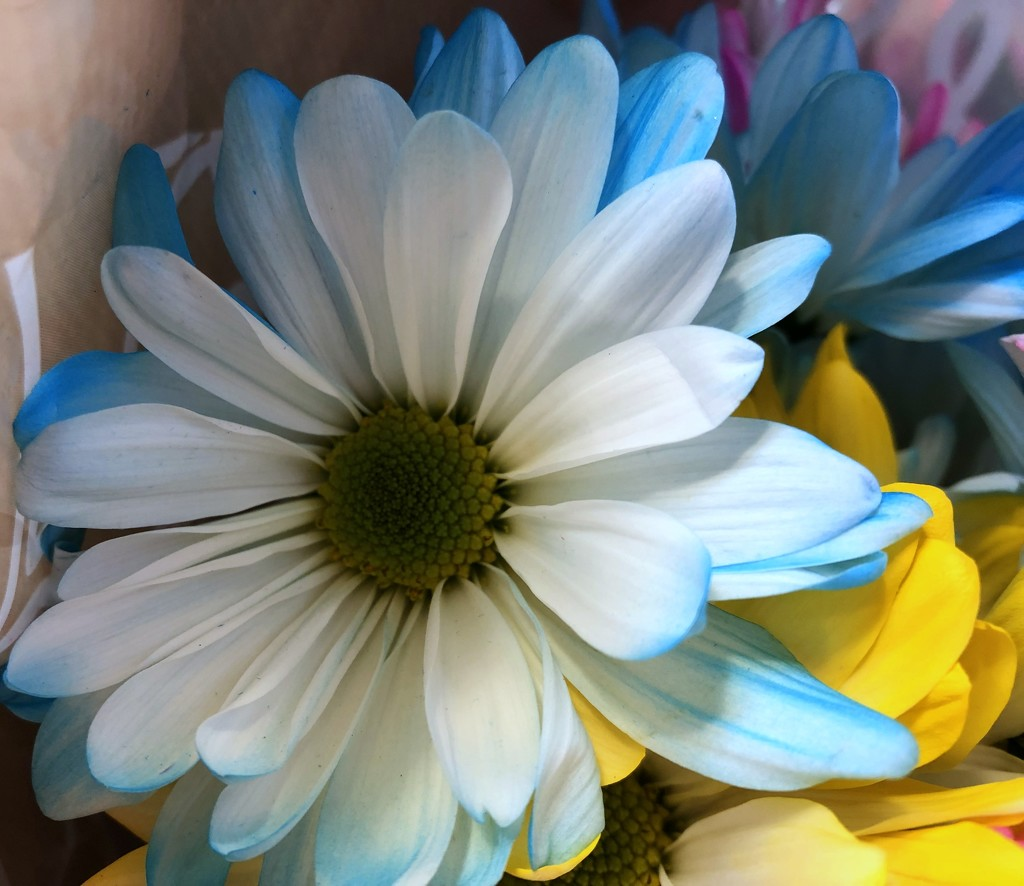 Blue daisy by homeschoolmom