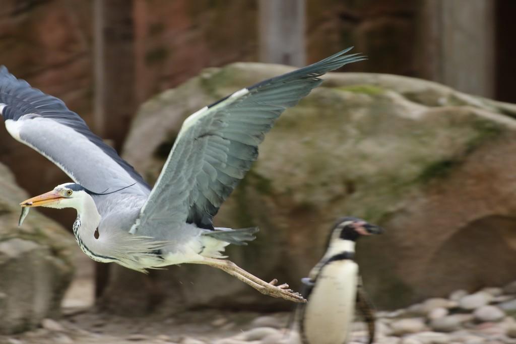 Heron versus Penguin for fish lunch! by bizziebeeme