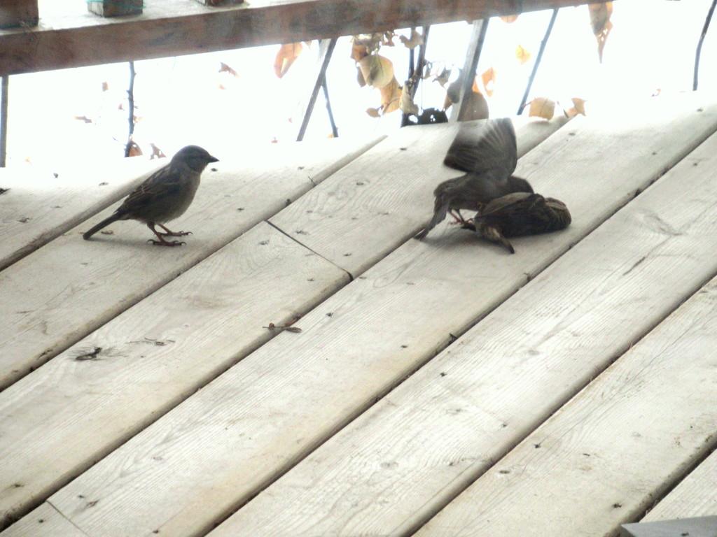 Bird fight by bruni
