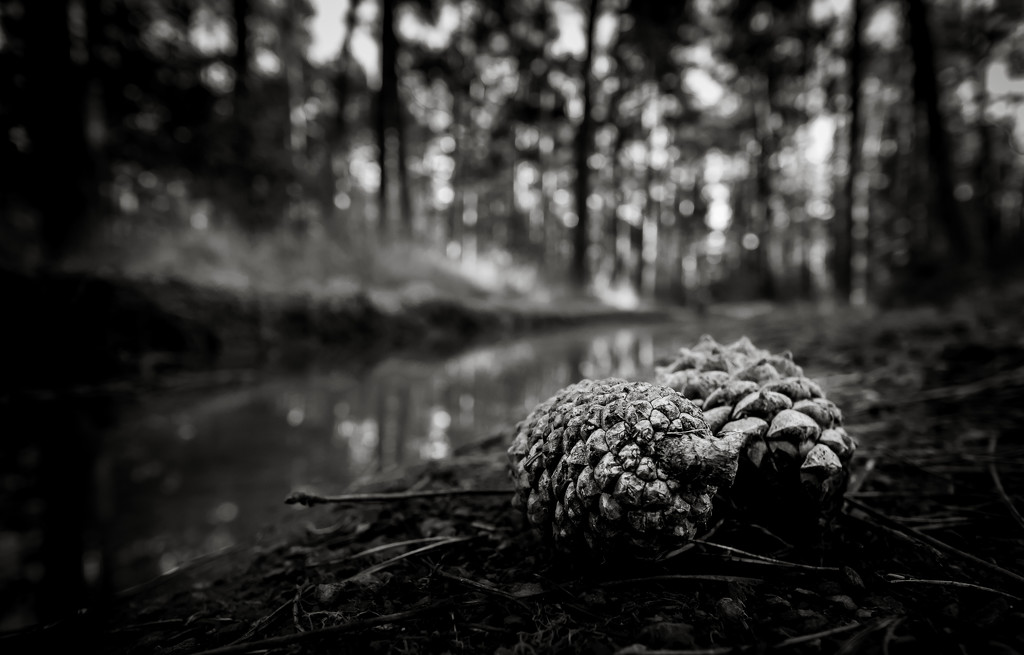Pine Cones on the Forest Floor... by vignouse