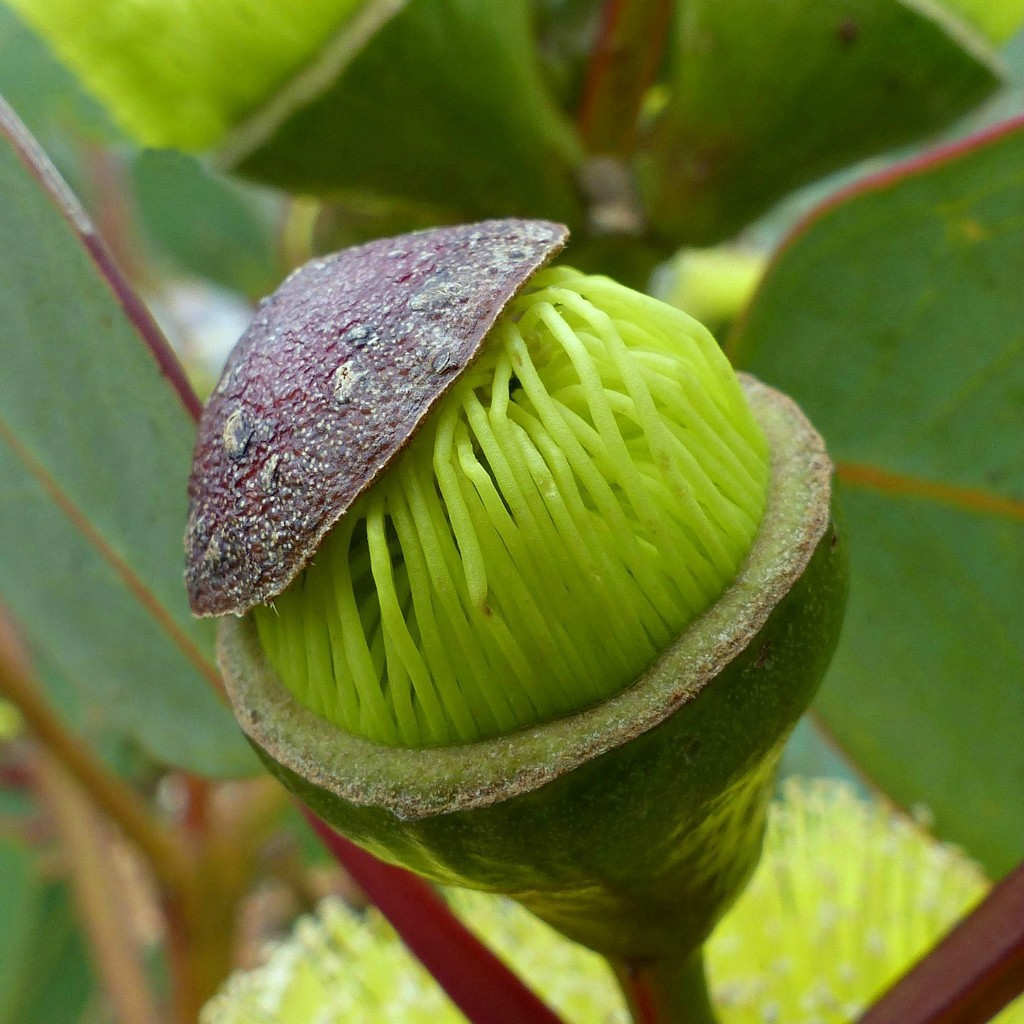Rainbow Month Day 21 - Eucalypt bud opening by judithdeacon