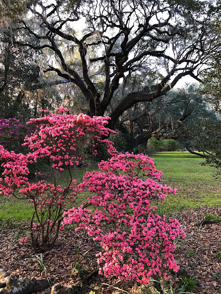 One of my favorite azalea varieties with an ancient live oak in the background. by congaree