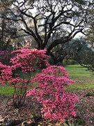 20th Mar 2019 - One of my favorite azalea varieties with an ancient live oak in the background.