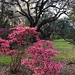 One of my favorite azalea varieties with an ancient live oak in the background.