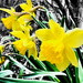 Spring Has Sprung Yellow