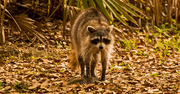 20th Mar 2019 - Rocky Raccoon Out for a Stroll!