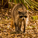Rocky Raccoon Out for a Stroll!