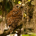 Momma Owl Heard Me Coming and Turned Around!