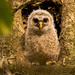 And Finally, We Have the Baby Barred Owl! on 365 Project