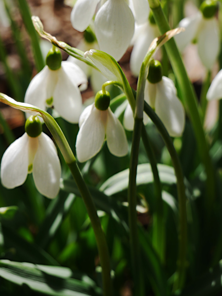 First Day of Spring Snowdrops by gq