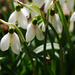 First Day of Spring Snowdrops