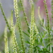 Pretty Grass