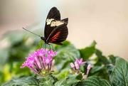 21st Mar 2019 - Butterfly #5