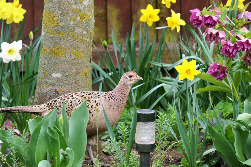 Spring Pheasant by carole_sandford
