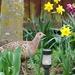 Spring Pheasant