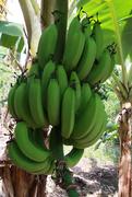 21st Mar 2019 - Bananas