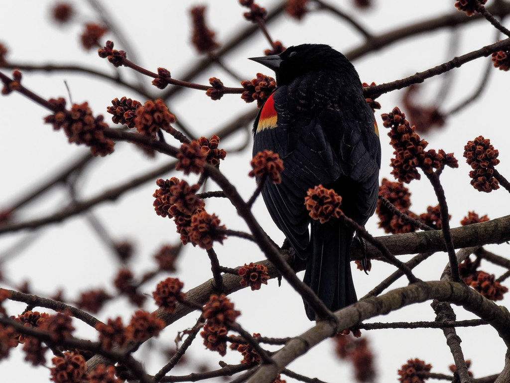 Red-winged Blackbird by rminer