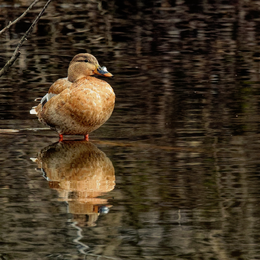 female mallard with reflection by rminer