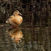 21st Mar 2019 - female mallard with reflection