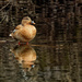 female mallard with reflection
