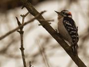 21st Mar 2019 - downy woodpecker