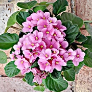 21st Mar 2019 - African Violet for ETSOOI
