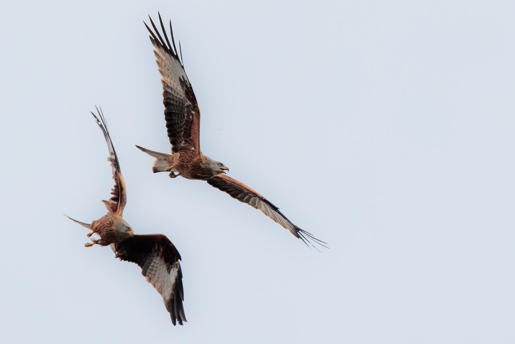 Red Kites arguing in the sky. by padlock
