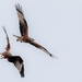 Red Kites arguing in the sky.
