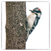 mr downy woodpecker