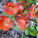 Japonica, flowering quince ...