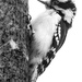 mr downy woodpecker b&w