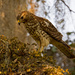 Young Red Shouldered Hawk, I Think!