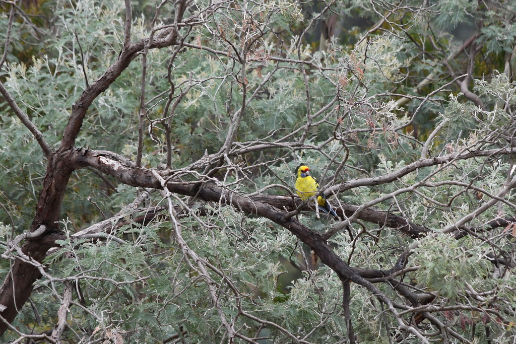 Green Rosella sitting in our tree by kgolab