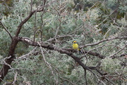 22nd Mar 2019 - Green Rosella sitting in our tree