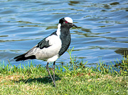 22nd Mar 2019 - A Lapwing