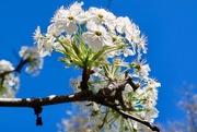 22nd Mar 2019 - Bradford Pear blossoms