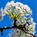 Bradford Pear blossoms by louannwarren