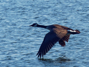 22nd Mar 2019 - Canada goose touching water