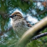 22nd Mar 2019 - house sparrow