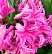 24th Mar 2019 - Pink hyacinth