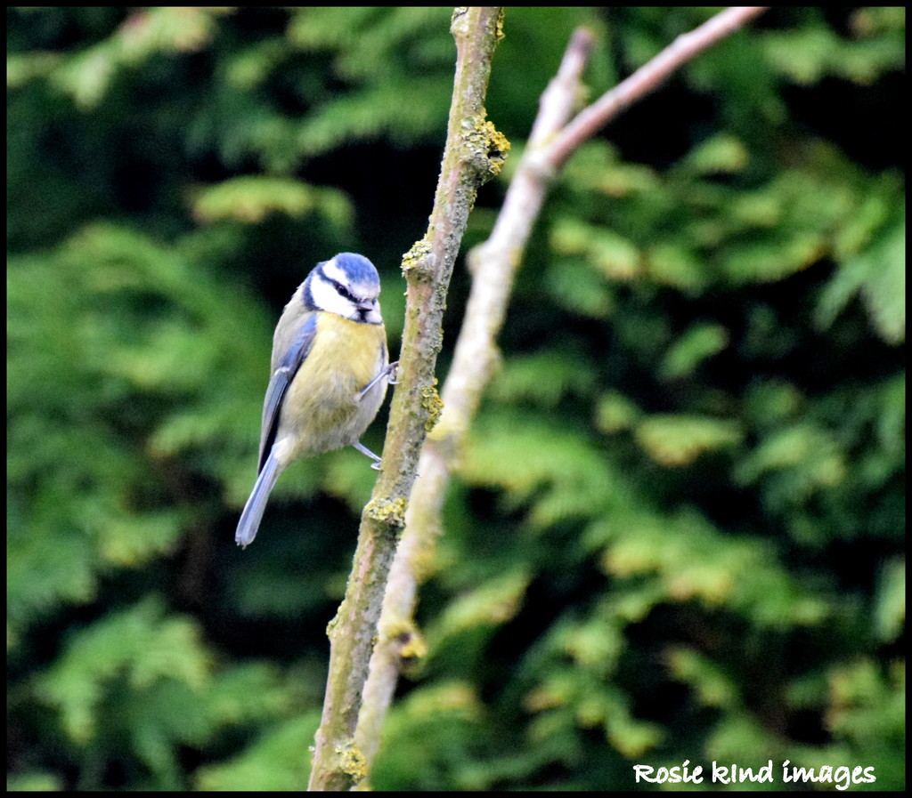 Blue Tit by rosiekind