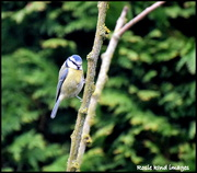 22nd Mar 2019 - Blue Tit