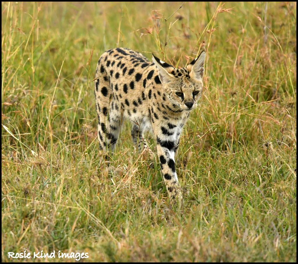 Serval by rosiekind