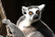 22nd Mar 2019 - The Lemur Look