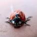 The first ladybird...