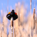 Red-winged blackbirds always signal Spring time in Michigan
