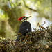 Pileated Woodpecker Resting in the Ferns!