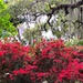 Azaleas, live oaks and Spanish moss — a classic Southern combination in Spring.